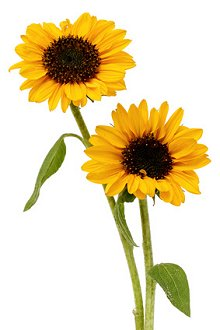Library Image: Sunflowers